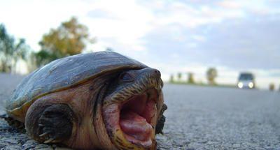 Las tortugas de la carretera